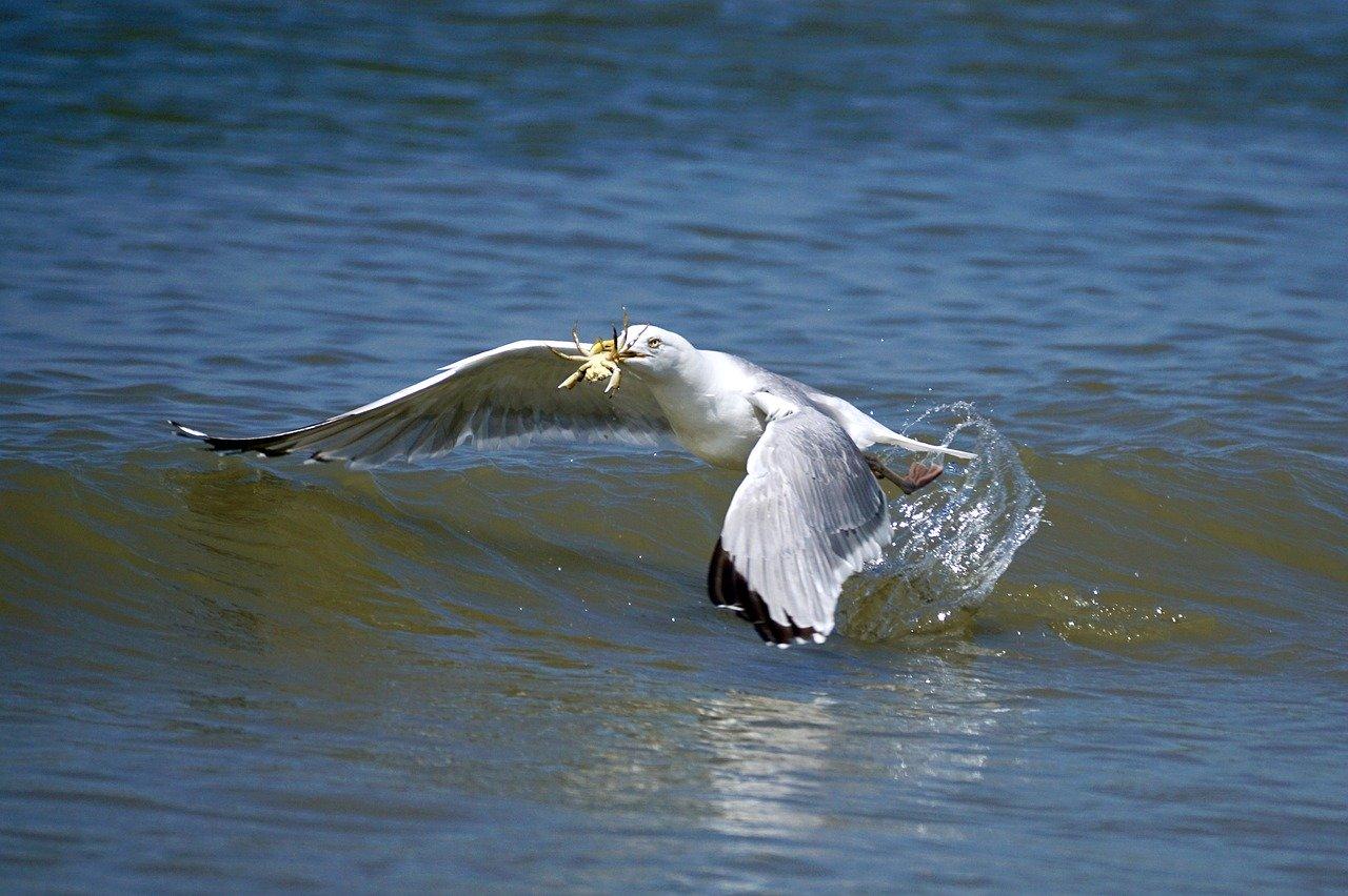 bird catches crab seafood